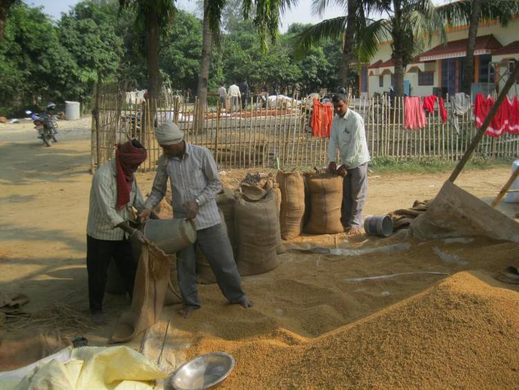 Farmers in a Parsa filling paddy in gunny sacks in December.