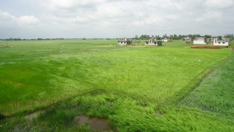 Lush paddy fields near Nepalgunj in Banke district. Photo: Mohan Mainali